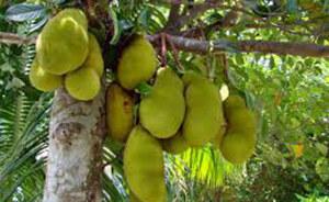 jackfruit-s_650_112014112644