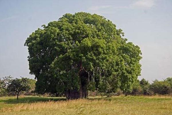 अजीब पेड़