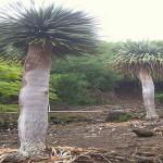दुनिया के इन पेड़ो को देख कर चौंक जायेंगे आप