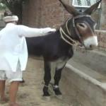 अजब गजब : 10 लाख रुपये का गधा, जानिये क्यों ..