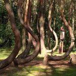 एक जंगल ऐसा भी जहाँ पेड़ों का 90 डिग्री तक मुड़ना आज भी है एक रहस्य