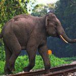 हाथियों पर रेडियो कॉलर लगाए जाने की तैयारी, जानिए खबर