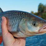 मछली का अवैध शिकार करने वाला गिरोह फिर सक्रिय