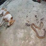 वफादार कुत्ता अपनी जान गंवा कर अपने मालिक की बचाई जान ,जानिए खबर