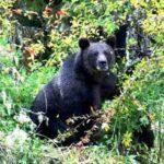 13 गांवो में भालू की दस्तक, जानिए खबर