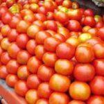 किसानों को टमाटर का नहीं मिल रहा उचित दाम, जानिए खबर