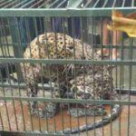 घर में घुसा गुलदार, वन विभाग की टीम ने पिंजरे में किया कैद
